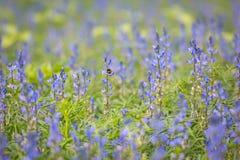 在蓝色羽扇豆的领域的一只土蜂 免版税库存图片