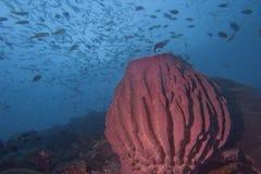 在蓝色背景王侯Ampat巴布亚,印度尼西亚的一块巨型海绵 库存照片