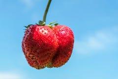 在蓝色背景的一个巨大的草莓 一莓果特写镜头,有用为健康 收获在夏天 免版税库存图片