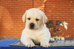 在蓝色背景的一只小的拉布拉多小狗 免版税图库摄影