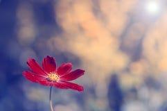 在蓝色背景的一朵偏僻的红色花 与色彩的一朵花和文本的一个地方 免版税库存图片