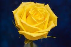 在蓝色背景的一朵美丽的黄色玫瑰 免版税库存图片