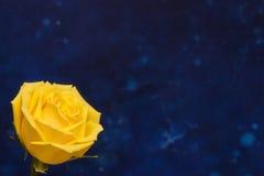 在蓝色背景的一朵美丽的黄色玫瑰 免版税库存照片