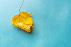 在蓝色背景的一片干燥黄色叶子 库存照片