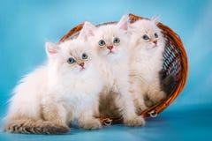 在蓝色背景的三只内娃化妆舞会小猫 免版税库存照片