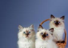 在蓝色背景的三只内娃化妆舞会小猫 免版税库存图片