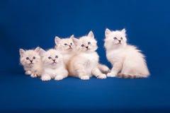 在蓝色背景的五只内娃化妆舞会小猫 免版税库存图片