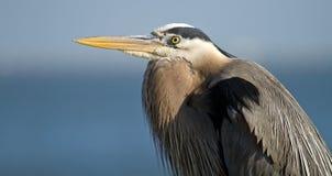 在蓝色背景的伟大蓝色的苍鹭的巢 免版税库存照片