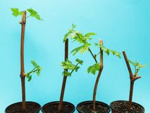 在蓝色背景的四个葡萄幼木,被隔绝 免版税库存图片