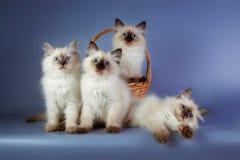 在蓝色背景的四只内娃化妆舞会小猫 免版税库存图片