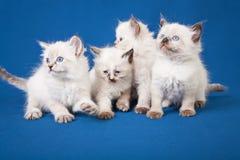 在蓝色背景的四只小的内娃化妆舞会小猫 免版税库存照片