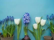 在蓝色背景的复活节装饰构成 白色郁金香、花盆、没有漆的鸡蛋和树 库存照片