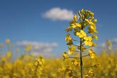 在蓝色背景的明亮的黄色花 免版税库存图片