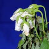 枯萎的玫瑰 库存图片