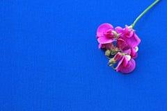 在蓝色背景的桃红色花 免版税库存照片