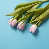 在蓝色背景的桃红色郁金香花的布置 库存图片