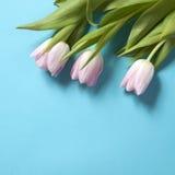 在蓝色背景的桃红色郁金香花的布置 免版税库存照片