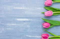 在蓝色背景的桃红色郁金香 图库摄影