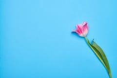 在蓝色背景的桃红色郁金香 免版税库存图片