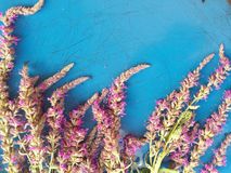 在蓝色背景的桃红色野花 免版税库存图片