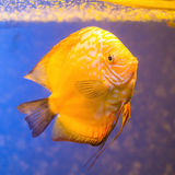 在蓝色背景的橙色水族馆鱼铁饼 库存图片