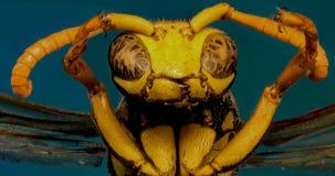 在蓝色背景的欧洲纸质黄蜂 图库摄影