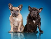 在蓝色背景的法国牛头犬 免版税库存图片
