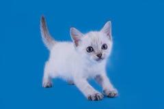 在蓝色背景的泰国小猫 库存照片