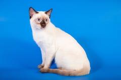在蓝色背景的泰国猫 免版税库存照片
