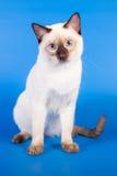 在蓝色背景的泰国猫 图库摄影