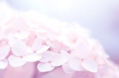 在蓝色背景的淡粉红的八仙花属特写镜头 精美花的美好的艺术性的图象 免版税库存图片