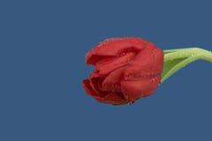 在蓝色背景的湿红色郁金香 库存图片