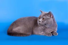 在蓝色背景的灰色英国猫 免版税图库摄影