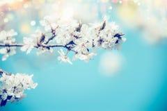 在蓝色背景的白色春天樱花与bokeh和阳光,关闭 抽象花卉春天自然,室外 免版税图库摄影
