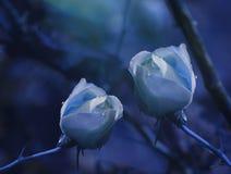 在蓝色背景的白蓝色玫瑰在与水滴的雨以后  特写镜头 背景细部图花卉向量 库存照片