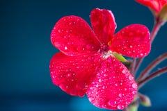 在蓝色背景的红色大竺葵花 免版税库存照片
