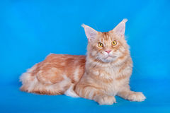 在蓝色背景的红色猫缅因浣熊 免版税库存图片