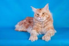 在蓝色背景的红色猫缅因浣熊 库存照片