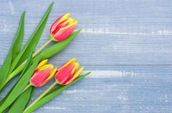 在蓝色背景的红色郁金香与拷贝空间 图库摄影