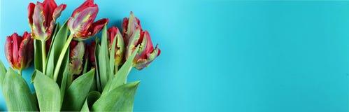在蓝色背景的红色鹦鹉郁金香 库存图片