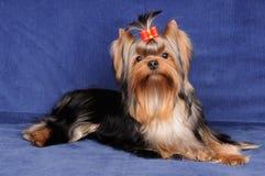 在蓝色背景的约克夏狗 免版税图库摄影