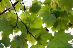 在蓝色背景的绿色叶子 免版税库存图片