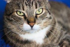 在蓝色背景的美丽的棕色虎斑猫 ?? 令人惊讶的摄影 免版税库存照片