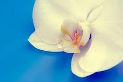 在蓝色背景的美丽的空白兰花花 免版税库存图片