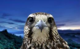 在蓝色背景的老鹰画象 免版税库存照片