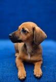 在蓝色背景的达克斯猎犬小狗 免版税库存图片