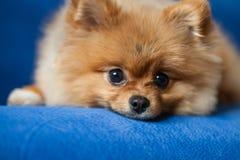 在蓝色背景的逗人喜爱的Pomeranian小狗 免版税库存图片
