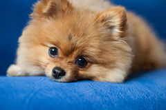 在蓝色背景的逗人喜爱的Pomeranian小狗 免版税库存照片