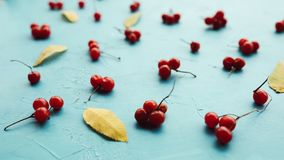 在蓝色背景的醇厚的荚莲属的植物莓果 库存图片