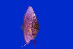 在蓝色背景的铁饼鱼 免版税库存图片